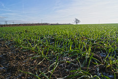 Frost on cereals (sallyclarkephotos) Tags: cereals frost spring winter newgrowth crops crop