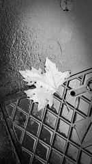 Novembre (giallinovagabondo) Tags: bw italy milano foglia autunno asfalto pioggia tombino marciapiede bbz10 novembre2014 bastioniportavolta