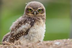 Monday face (Thelma Gatuzzo) Tags: bird animals ngc raptor owl coruja animais athenecunicularia burrowingowl buho littleowl corujaburaqueira vizcachera steenuil chevêchedathéna chevêchedesterriers kaninchenkauz lechucitadecampo animailia thelmagatuzzophotography©
