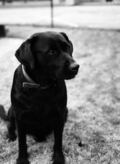 Beautiful Annie (oh it's amanda) Tags: blackandwhite bw dog mediumformat mississippi blackwhite blog blacklab blogged swp ilfordfp4 ilfordfp4plus fujiga645i shootwithpersonality thetestroll