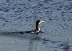 Cormorant - Explored 06/11/14 (warren hanratty) Tags: wildlife gloucestershire cormorant seabird cotswoldwaterpark cwp wildbird phalcrocoraxcarbo shorncotereedbeds warrenhanrattyphotography