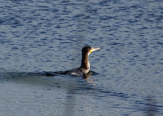 Cormorant - Explored 06/11/14