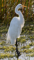 _C5A4251.jpg (Lake Worth) Tags: bird nature birds animal animals canon wings wildlife feathers sigma waterbird wetlands everglades waterbirds southflorida 2xextender 5dmark3