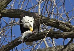 0754L&D14b (preacher43) Tags: fish nature river mississippi illinois lock dam 14 bald iowa eagles