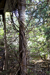Tangled Vines (paulawalla37) Tags: oncewashome
