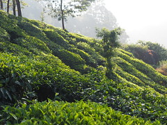 Tea cultivation plantation garden Tee Pflanze Munnar India (c) (hn.) Tags: copyright india plant tree berg leaves rural garden leaf asia asien heiconeumeyer tea farm indian hill farming pflanze kerala plantation shrub blatt bltter tee hang teagarden indien baum slope cultivation teaplantation southindia munnar anbau southasia copyrighted 2014 plantage tealeaves teatree hgel tealeaf indisch teaplant teafarm abhang teepflanze teeplantage idukki teacultivation teeblatt teacountry teebltter sdindien teebaum sdasien idukkidistrict teeanbau anbaugebiet teashrub tp201415