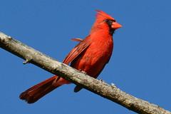Male Northern Cardinal (NaturalLight) Tags: red male cardinal kansas northern wichita northerncardinal statebird chisholmcreekpark ksccna9063