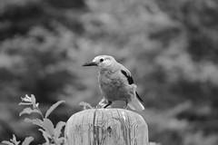 Lake Louise ~ Clark's Nutcracker - HMBT! (karma (Karen)) Tags: bw canada topf25 monochrome birds dof bokeh alberta lakelouise canadianrockies clarksnutcracker banffnp cmwdbw canadanationalparks hmbt