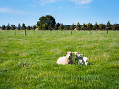 Sheep with spring lambs (whitworth images) Tags: blue trees two sky baby cute green wool nature field grass animals rural fence landscape outdoors spring twins babies sheep farm hamilton young mother sunny australia victoria domestic pasture plantation lambs lush agriculture dunkeld livestock mammals juvenile agricultural paddock strathkellar