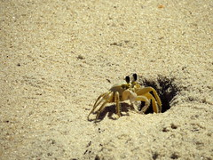 Atlantic ghost crab (Márcio Vinícius Pinheiro) Tags: brazil praia beach brasil paraty sand rj areia parati crab crustacean siri trindade caranguejo mariafarinha ghostcrab crustáceo ocypodequadrata guaruçá atlanticghostcrab aguarauçá espiamaré guriçá vazamaré ocypodealbicans papadefunto cancerquadrata monolepisinermis ocypodearenarius oquadrata praiadacaixadaço