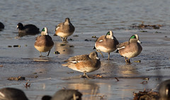 American Wigeon (mikemuch1) Tags: winter ny newyork bird queens americanwigeon baldpate baisleypond