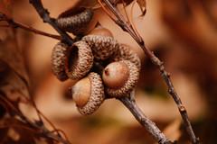 (Little Salty Dog) Tags: autumn fall nature forest golden woods seeds acorns naturewalk naturetime hikethroughthewoods crispoutside