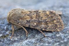 2229-IMG_4891 Brindled Ochre (Dasypolia templi) (ajmatthehiddenhouse) Tags: islay 2014 brindledochre dasypoliatempli dasypolia templi noctuidae xyleninae cuculliinae moth