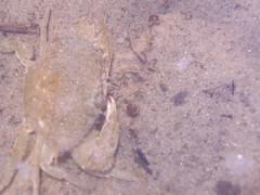 Callinectes sapidus (Angela sosa) Tags: cangrejos crustaceos