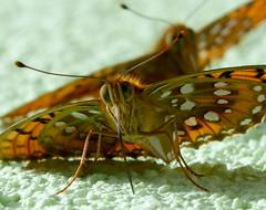 Dark Green Fritillary. Argynnis aglaja. mating (gailhampshire) Tags: dark green fritillary argynnis aglaja taxonomy:binomial=argynnisaglaja slovenia butterflies explored