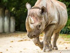 black rhinoceros (John van Beers) Tags: rhino rhinoceros blackrhinoceros neushoorn dicerosbicornis hooklippedrhinoceros zwarteneushoorn puntlipneushoorn