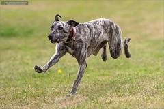 Lulu (Ian Garfield - thanks for over 1 Million views!!!!) Tags: dog eye dogs ian photography friend cross lulu running whippet best mans garfield lurcher
