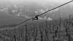 DSCF0144_DxO2 (Denkrahm) Tags: water deutschland wire wine drop vinyard trier duitsland weinberg olewig
