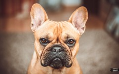 Lotti // French bulldog (ikopix) Tags: dog animal french nikon bulldog hund nikkor tier bulldogge nikkor50mm18 ikopix