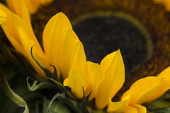 IMG_9232 On The Fringe (Currant Bun) Tags: sunflower flickrsfantasticflowers