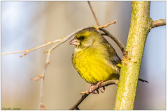 Verdone (Fausto Deseri) Tags: greenfinch carduelischloris verdone sitodimanzolino wildlife nature birds wild oasiditivolimanzolino pentaxk3 pentaxfa300mmf45edif tckenkoaf15x