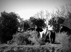 DSC07894re (danielavpbu) Tags: familia caballos libertad semi campo animales hermoso sombras belleza felices equitacin curiosos galopar