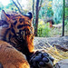 Baby Sumatran Tiger of Yokohama Zoological Gardens / スマトラトラの赤ちゃん