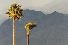 Windy (lex U) Tags: mountains wind palmtree iceboxuncool