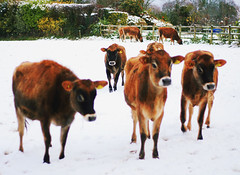 (hellololla) Tags: uk winter snow countryside cattle cows jersey heifers