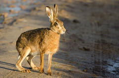 Brown Hare in the morning sunshine (Tim Melling) Tags: brown west hare european district yorkshire peak lepuseuropaeus timmelling