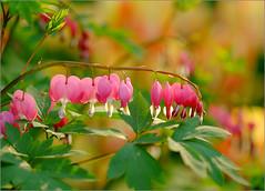 Bleeding Heart (tehhyvredina) Tags: flowers macro garden spring bokeh moscow bleedingheart botanicgarden dicentraspectabilis   lamprocapnosspectabilis   canonef100mmf28usmmacro  apothecarygarden   fujifilmxe1