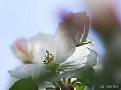 Sweet Apple Dream (Greet N.) Tags: tree blossom may maro sweetapple