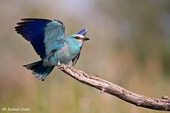 Ghiandaia marina _001 (Rolando CRINITI) Tags: bird birds natura uccelli romania uccello ornitologia periprava ultimafrontiera ghiandaiamarina