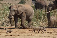 Suedafrika-57 (Lukas P Schmidt) Tags: elephant addo nationalpark elephantpark