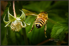 Bugging Out (Maclobster) Tags: camera blossom flash off bee honey raspberry bud keithgrajala
