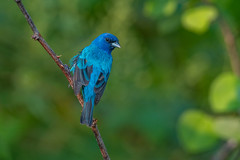 Indigo Bunting (Joe Branco) Tags: green nature branco wildlife indigo joe bunting songbirds indigobunting nikond500 joebrancophotography lightroomcc2015 photoshopcc2015