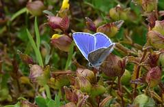 Hauhechel Bluling, Polyommatus icarus (staretschek) Tags: polyommatusicarus bluling hauhechelbluling tagfalter tagschmetterling