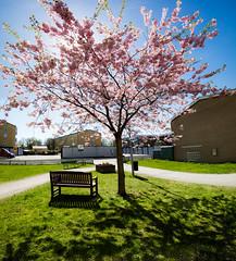 Sakura, Uppsala, May 5, 2016 (Ulf Bodin) Tags: shadow bench se spring sweden outdoor uppsala cherryblossom sakura sverige vr bnk snickargatan uppsalaln vertorama krbrsblom canoneosm3 canonefm11224556isstm