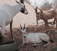 Relaxation (pam's pics-) Tags: nature animal mammal dubai desert natural uae arabia antelope unitedarabemirates pammorris pamspics dubaidesertconservationreserve oryxx sonya6000