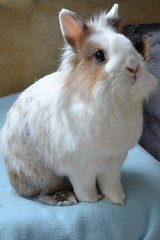 Fluffy (peachmarine) Tags: pet rabbit bunny animal dwarf selection extra lapin lionhead nain slection pinou ttedelion tetedelion