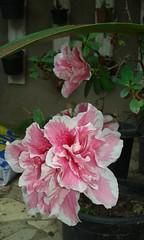 20150821_125125 - Cpia (Megaolhar) Tags: flores toy flickr do dia vale paulo apa bom inverno so campos facebook tuka jordo paraba fazendinha 2016 youtube ibama twitter jardinagem bioma gomeral