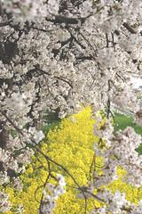 Double Fantasy01 (teracotta8) Tags: pink flower yellow japan spring cherryblossom  rapeblossom yahiko doublefantasy flickr1 spring2016   6
