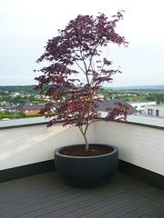 Blickpunkt Roter Ahorn (Jrg Paul Kaspari) Tags: juni modern garden maple acer garten palmatum 2016 dachgarten citybowl frhsommer wincheringen acerpalmatumfireglow fireglow