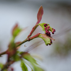 New leaves (Spannarama) Tags: tree green leaves square spring blossom bokeh japanesemaple outofmywindow newleaves