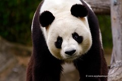 Giant Panda (My Planet Experience) Tags: china bear wild portrait white black animal giant mammal panda wildlife conservation bamboo species endangered wwf biodiversity ailuropodamelanoleuca wwwmyplanetexperiencecom myplanetexperience