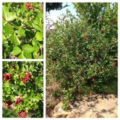 Aromatic Sumac (legacyplaza) Tags: berries gardening landscaping sumac shrub botanicalgarden wildscape aromaticsumac wildscaping hillcountrysumac texasbotanicalgarden