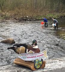 Bangor Maine's Fave Migratory Fish? Atlantic salmon (USFWS Fish and Aquatic Conservation) Tags: maine conservation usfws hatchery usfishandwildlifeservice fishandwildlifeservice fishmigration fishandaquaticconservation fishconservation wfmd2016