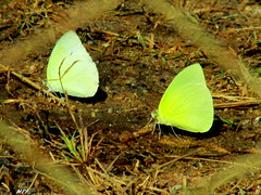 Butterflies (tinica50) Tags: nature butterfly bugs borboletas
