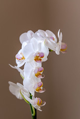 _DSC4492.jpg (tomac_foto) Tags: natur pflanzen blume blte blten tiefenschrfe zierpflanze bllumen