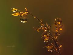 Grass (jeanmarie shelton) Tags: macro nature rain closeup droplets drops nikon bokeh raindrops jeanmarie jeanmarieshelton